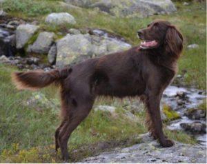 Helbrun Langhåret Vorstehhund
