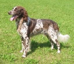 Langhåret Vorstehhund