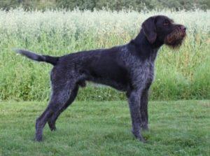 Strihåret vorstehhund
