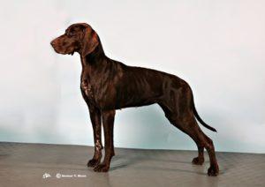 Helbrun Korthåret Vorstehhund