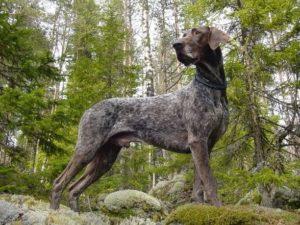 Korthåret Vorstehhund