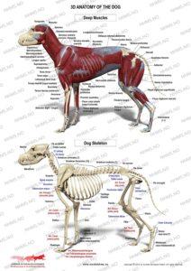 Hundens anatomi