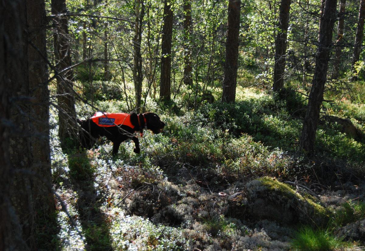 Skogsfugltrening i Trømborgfjella