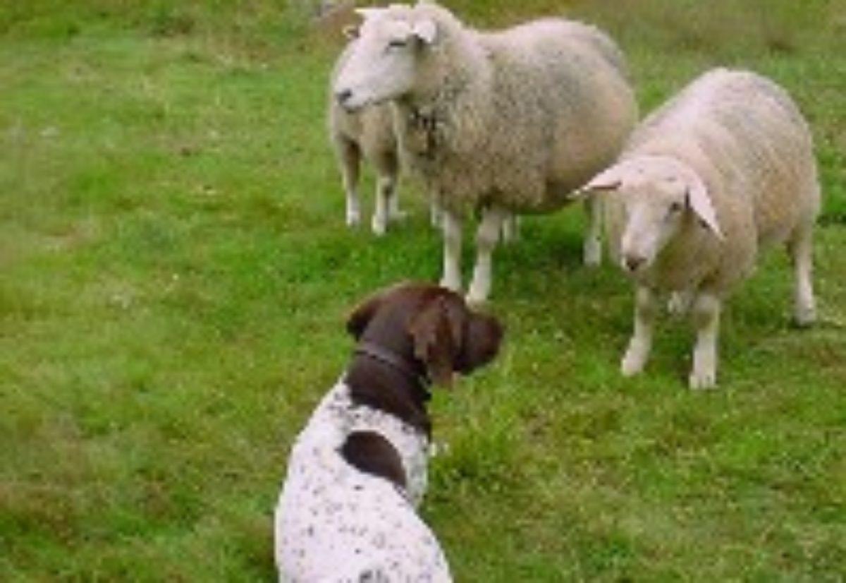 Hund/sau-aversjonsdressur i NVK V/T