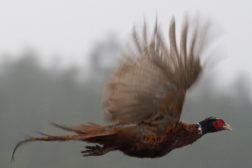 Fasaner og rapphøns – lavlandstrening på Disenå