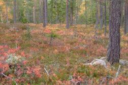 Skogsfuglprøven Trøndelag 2018