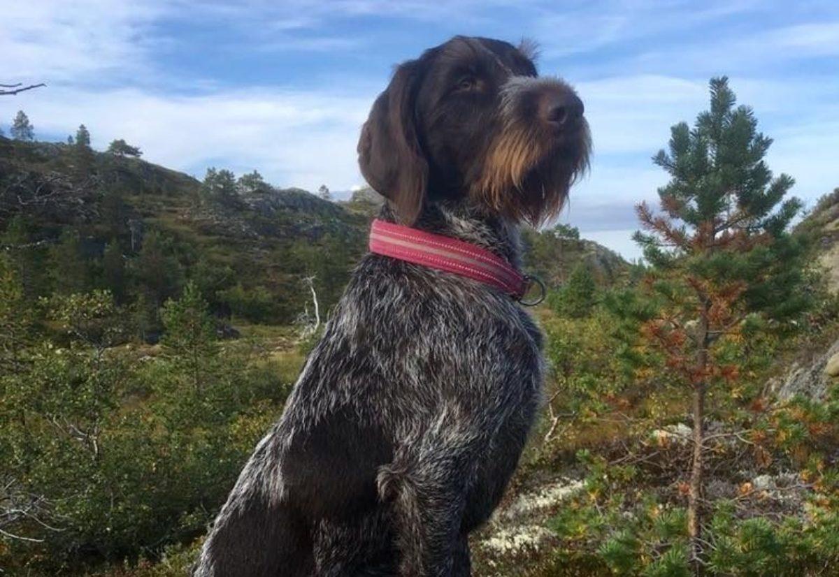 Årets jakthund i Trøndelag 2018