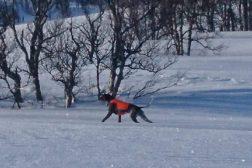 Ny VK hund og ny unghund kvalifisert for SNUM